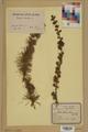 Neuchâtel Herbarium - Larix decidua - NEU000003684.tif