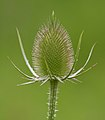 New Teasel (5957135655).jpg