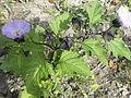 Nicandra physaloides RH (12).jpg