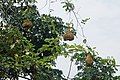 Nids de tisserins au nord de São Tomé (3).jpg