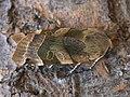 Noctua fimbriata - Broad-bordered yellow underwing - Земляная совка каёмчатая (40194979525).jpg