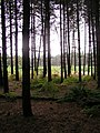 Normanshill Wood, Pine Trees - geograph.org.uk - 11306.jpg
