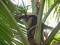 Northern Tamandua Anteater (Tamandua mexicana) in Costa Rica.JPG