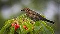 Not-yet-blackbird (41714144125).jpg