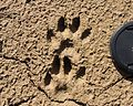Nyctereutes procyonoides footprints.JPG