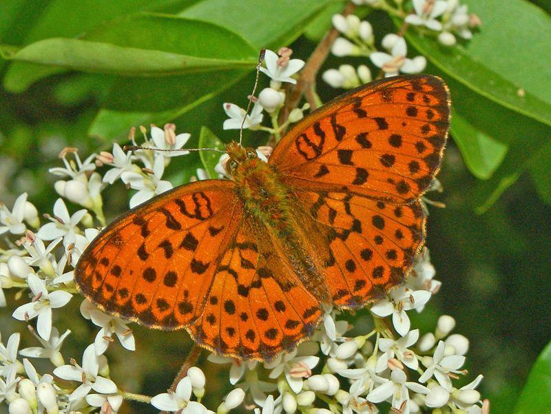 Bộ sưu tập cánh vẩy 4 - Page 51 800px-Nymphalidae_-_Brenthis_daphne-000