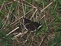 Nymphalis antiopa - Mourning cloak - Траурница (40440511144).jpg