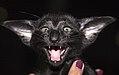 OSH Margosha of Marikacats (14167832306).jpg
