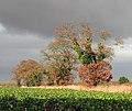 Oaks growing on a field boundary - geograph.org.uk - 1050369.jpg