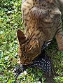 Ocicat-woodpecker.jpg