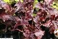 Ocimum basilicum Purple Ruffles 1zz.jpg