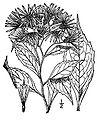 Oclemena-acuminata01.jpg