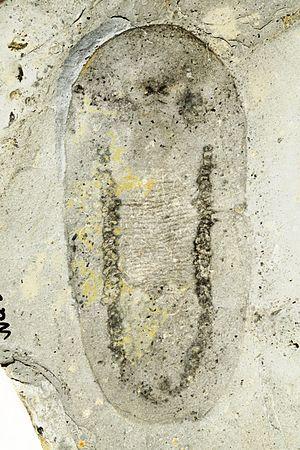 Odontogriphus - Image: Odontogriphus ROM57723