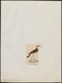 Oedicnemus bistriatus - 1820-1860 - Print - Iconographia Zoologica - Special Collections University of Amsterdam - UBA01 IZ17200097.tif