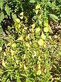 Oenothera fruticosa1.jpg