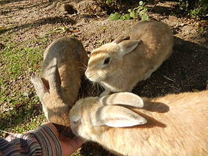 Ōkunoshima - European rabbit
