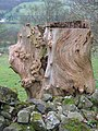Old Tree Stump by Offas Dyke LDP - geograph.org.uk - 358719.jpg