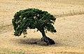 Old oak, Tula, Province of Sassari, Sardinia, Italy - panoramio.jpg