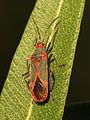 Oleander Bug (15824114294).jpg