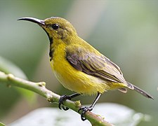 Olive-backed Sunbird (Cinnyris jugularis) eclipse male 690V5125.jpg
