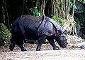 One Horned Rhinocerous 04.jpg