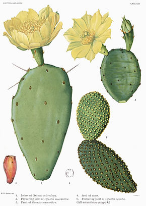 Description de l'image Opuntia12 filtered.jpg.