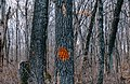 Orange Spray Paint on Tree - Marked for Cutting Down (45287408065).jpg