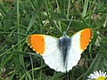 Orange Tip Butterfly - geograph.org.uk - 1324291.jpg
