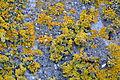Orange lichen (Xanthoria parietina) on concrete.jpg