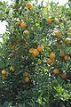 Oranges (5).JPG