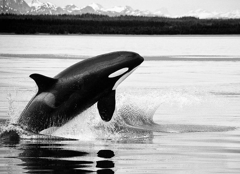 File:Orcas & humpbacks (3730256931).jpg