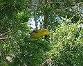 Orchard Oriole. Female. Icterus spurius (37594168254).jpg