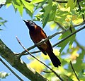 Orchard Oriole (Male) (4658365746).jpg
