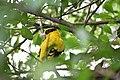 Oriolus chinensis 2.jpg