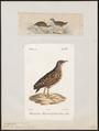 Ortygometra porzana - 1700-1880 - Print - Iconographia Zoologica - Special Collections University of Amsterdam - UBA01 IZ17500099.tif