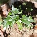 Osmanthus heterophyllus (leaf s4).jpg