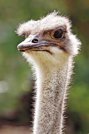 Image:Ostrich - melbourne zoo.jpg