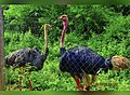 Ostriches at national Park and Zoo.jpg