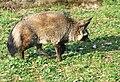 Otocyon megalotis Dvur zoo 3.jpg