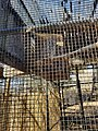 Owl at Drumlin Farm Wildlife Sanctuary of Audubon Society in Lincoln Massachusetts MA USA.jpg