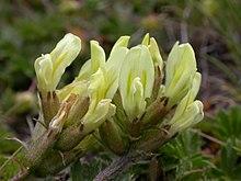 Oxytropis sericea - Wikipedia