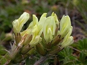 Oxytropis campestris - Image: Oxytropis campestris ssp campestris