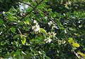 P.Dulce Blossom.jpg