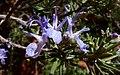 P1090520-24x15-Rosmarinus officinalis (42876095932).jpg