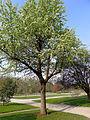 P1240524 Paris V jardin des plantes poirier du Caucase rwk.jpg