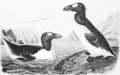 PSM V62 D513 Great auk of audubon.png