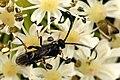 Pachynematus.gehrsi.-.lindsey.jpg