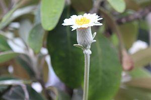 Pachystegia insignis - Flower, half profile