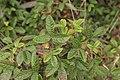 Pacific Poison Oak - Toxicodendron diversilobum (42585361985).jpg