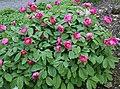 Paeonia mascula 01.jpg